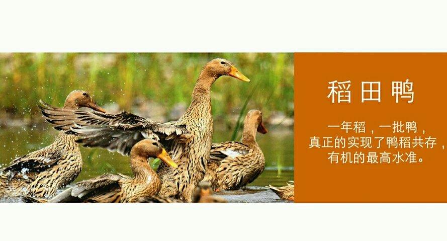 稻田鸭,真正的散养鸭,吃稻田里的小虫小草长大,品种属图片