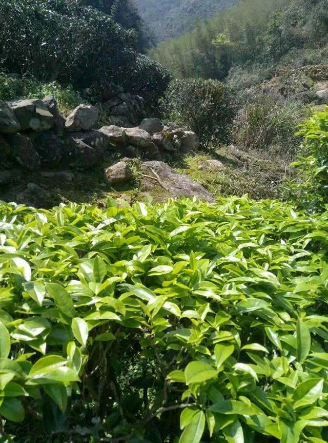 携手洋西坑和林生态绿茶,花蜜香客家炒绿首秀茶道元素生活馆旗舰商城(图4)